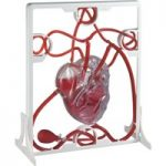 Rapid Pumping Heart Model
