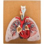 Eisco Human Lungs Model