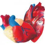 Learning Resources Cross Section Foam Human Heart Model